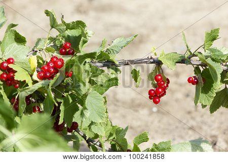 Red Currant Grow In Garden