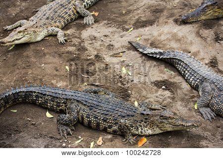 Crocodile close-up in the zoo, Indonesia. Crocodiles composition