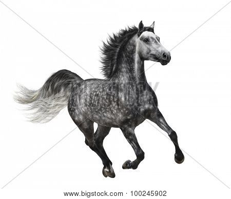 Dapple-grey horse in motion on white background