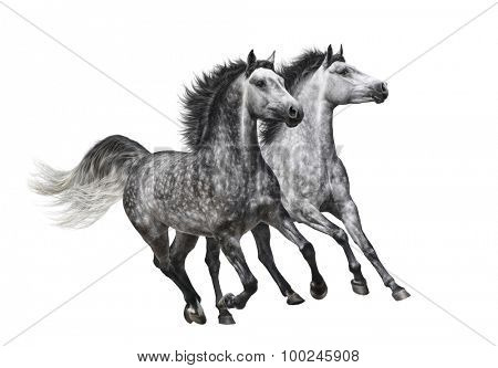 Two dapple-grey horses in motion - isolated on white