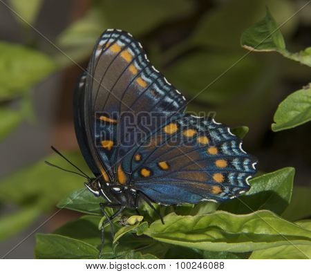 Red Spotted Purple in Profile