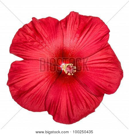 Red Hibiscus Flower, Isolated On White Background