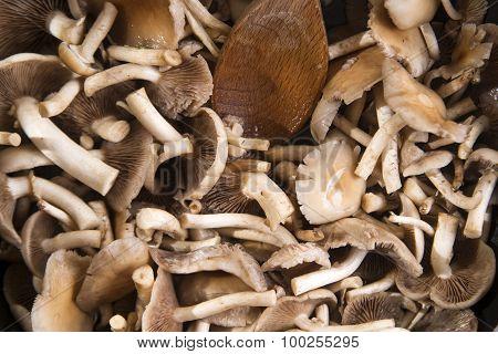 Cooking Mushroom Pioppino