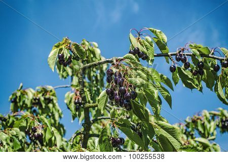 Ripe cherries on a cherry branches