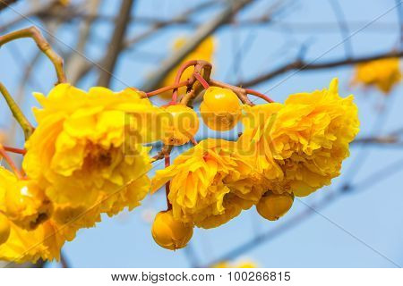 Silk Cotton Flower And Buds