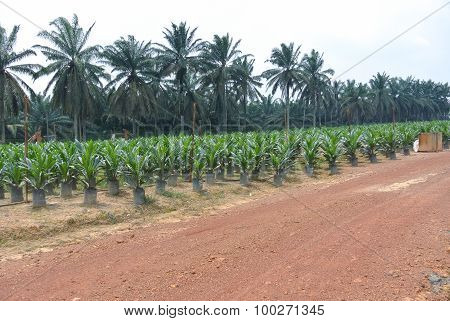 Nursery for young palm oil trees in Malaysia