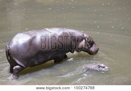 Baby Pygmy Hippopotamus With Morther