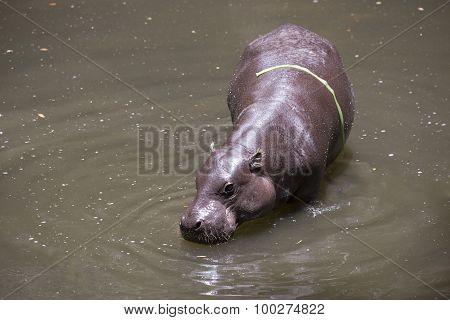 Pygmy Hippo Or Pygmy Hippopotamus