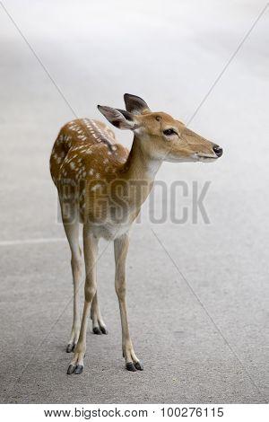 Deer In Habitat