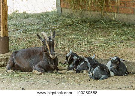 Baby Goat In Zoo