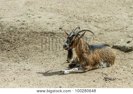 One  Goat In Zoo