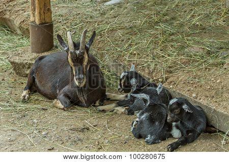 Family  Goats