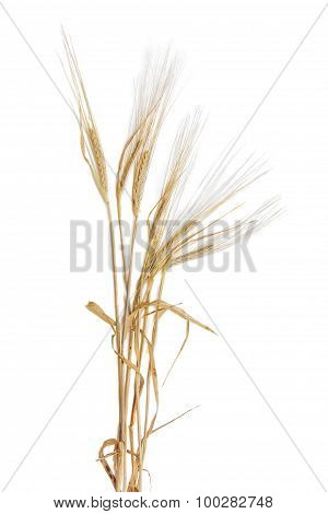 Several Stems Of Barley With Spikelet On A Light Background