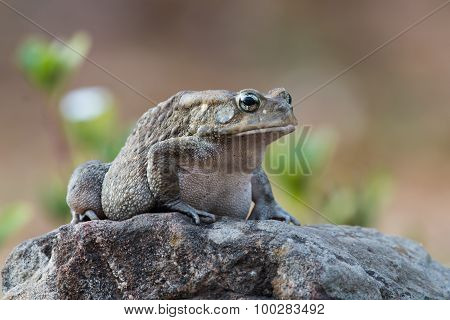 African Toad Sitting On A Rock Before Dawn