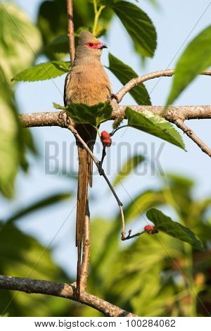 Red-faced Mousebird (urocolius Indicus) Perched With Entire Tail Showing