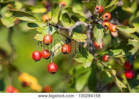 green hawthorn twig with red berry
