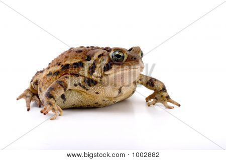 Creeping Toad