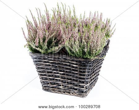 Wicker basket with bunch of heather flowers shot on white background