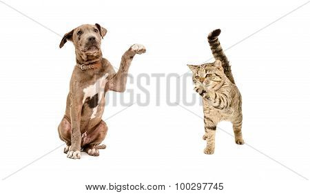 Pitbull puppy and a cat Scottish Straight standing with a raised paw