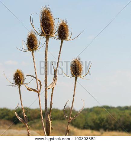 Dry Teasel Flowers