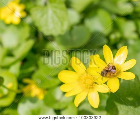 Bumblebee on a yellow flower collecting pollen