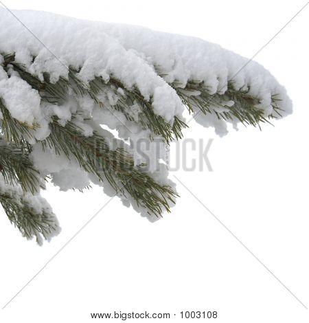 Rama bajo la nieve