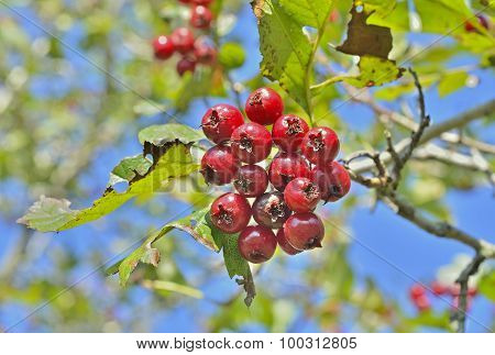 Berries Of Hawthorn