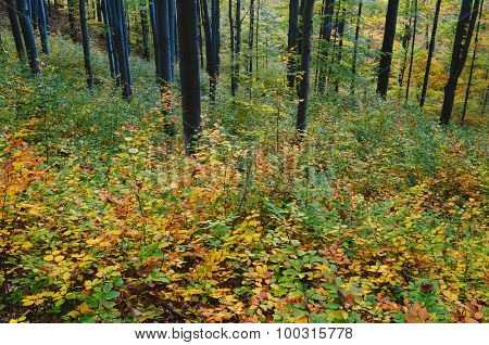 Colorful autumn in the mountain forest. Beech trees with red and yellow leaves