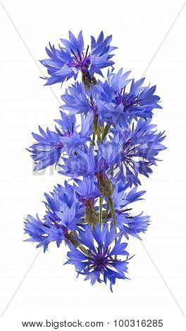 Big Vertical Bluet Cornflower Isolated On White Background