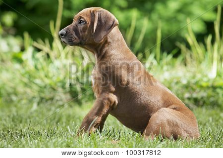 Short-haired  Rhodesian Ridge-back Puppy Dog