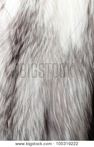 Silver Fox Fur Texture Or Background