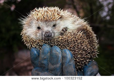 Tamed Hedgehog