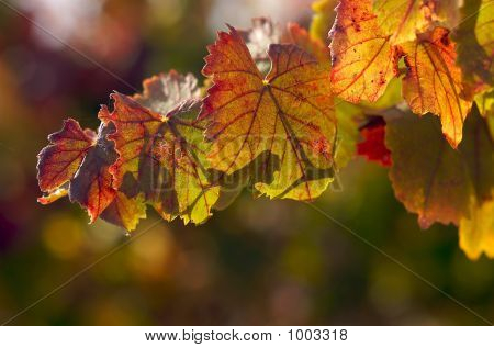 Translucent Grape Leaves