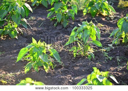 Sprouts of pepper on bed in the garden
