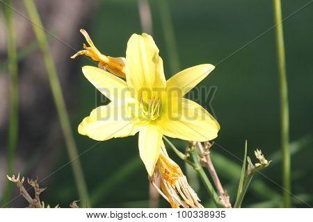 Daylily, Yellow (Hemerocallis)