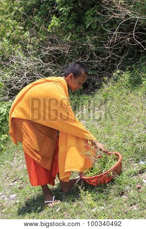 Young Buddhist Monk In A Garden Collecting Plants, Phnom Penh, Cambodia