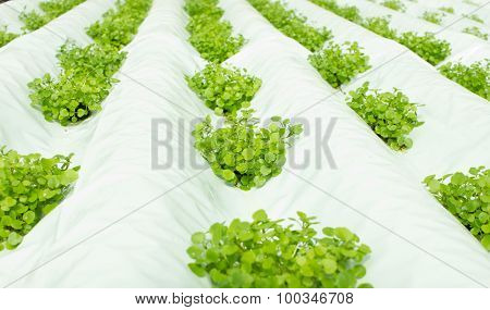 Small Watercress Plants Growing In Hydroponic Culture