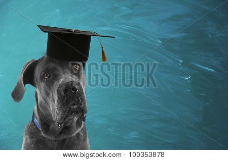 Cute dog  with grad hat near blackboard- education concept