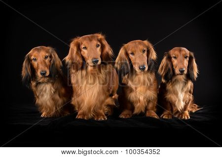 Four Longhaired Dachshund Dogs