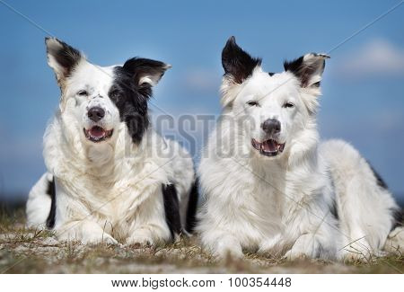 Two Border Collie Dogs Outdoors In Nature