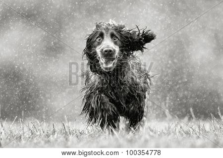 Black And White Picture Of Cocker Spaniel Dog