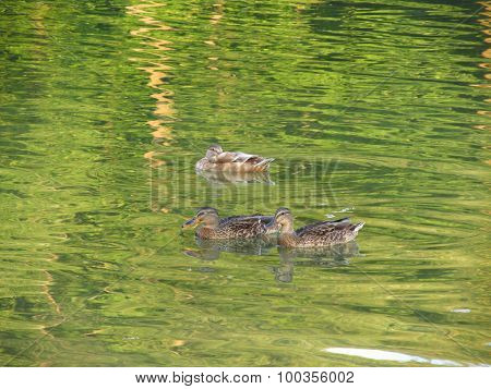 ducks on the green water