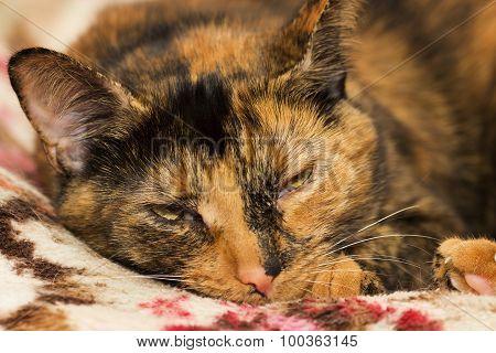 Sleepy Tortoiseshell Cat