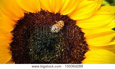 Bee On A Sunflower, Collecting Pollen