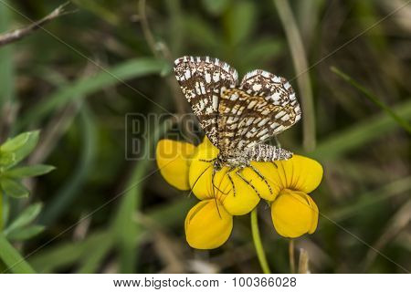 Grizzled skipper (pyrgus Malvae)