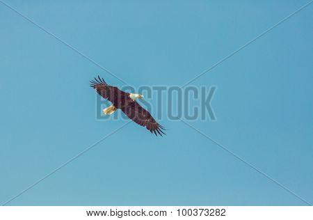 american bald eagle in flight against clear blue alaska sky . Instagram filter.
