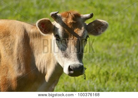 Pretty Jersey Dairy Cow