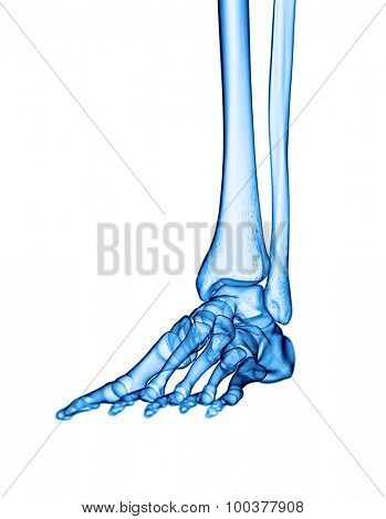 accurate medical illustration of the foot