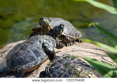 Group of red eared sliders