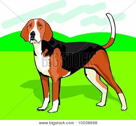 American Fox Hound Color